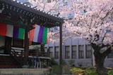 智積院 明王殿の桜