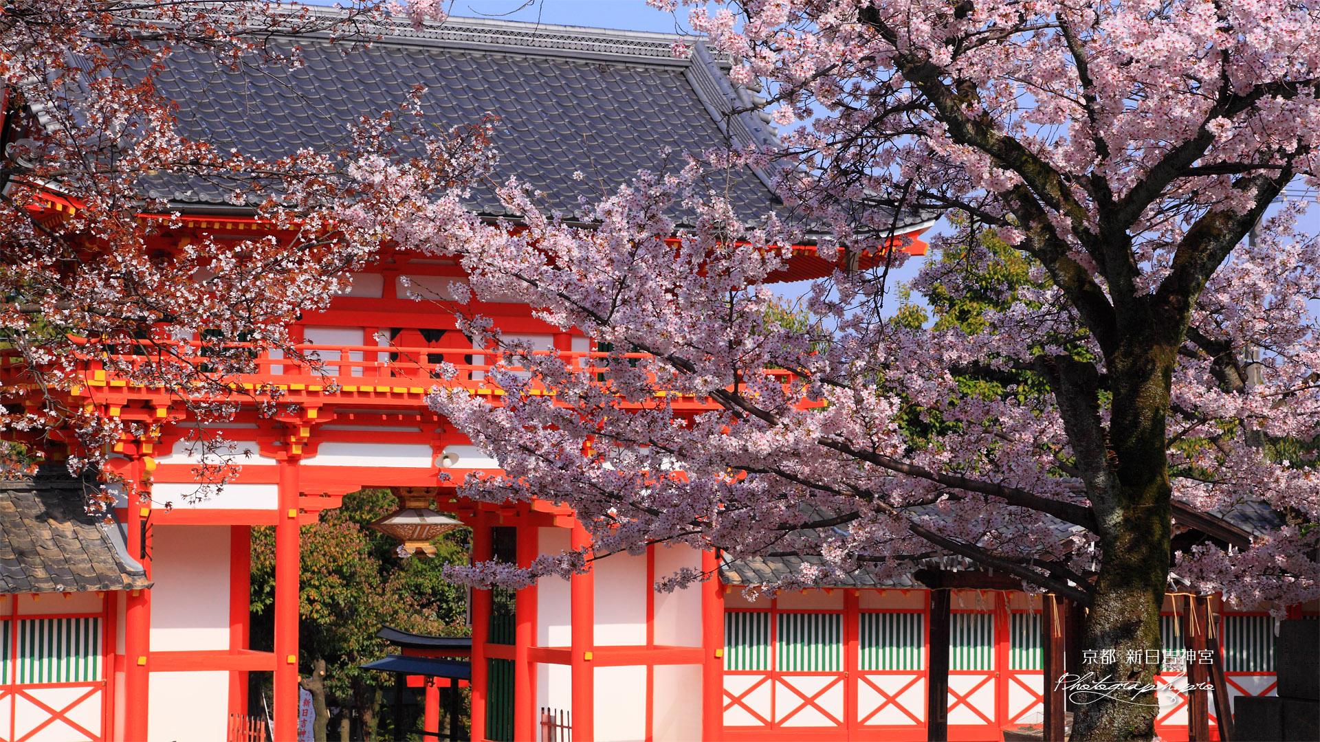 新日吉神宮 サクラと楼門