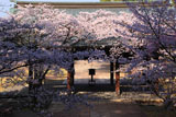 豊国廟 桜と拝殿