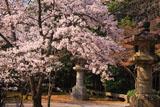 豊国廟 廟所の桜