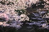 豊国廟 桜と石段