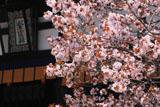 京都御所 左近桜と紫宸殿扁額