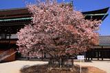 京都御所 左近の桜と紫宸殿