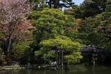 京都御所 御池庭の山桜