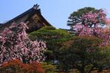 京都御所 紅枝垂桜と御学問所