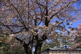 京都御苑の山桜