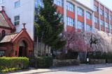 平安女学院のしだれ桜