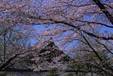 東本願寺 桜越しの参拝接待所