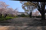 東本願寺 サクラ咲く門首邸