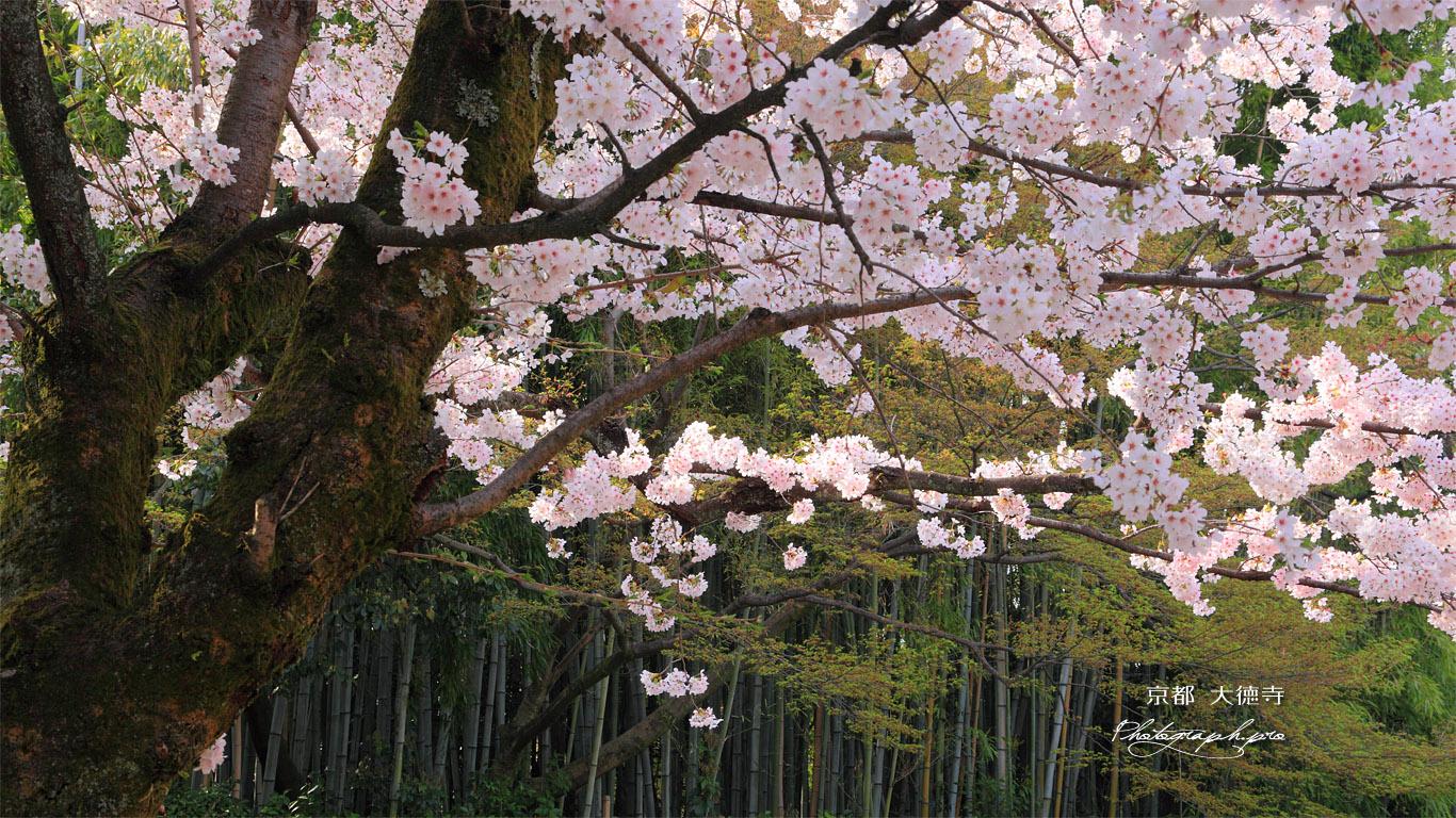 大徳寺 桜 壁紙