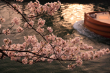 岡崎疏水の桜と十石舟