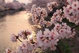 桜と夕照の岡崎疏水