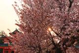 平安神宮 夕日と左近の桜