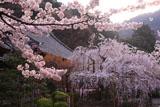 京都毘沙門堂 桜と宸殿