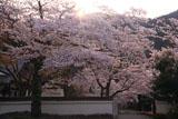 京都毘沙門堂 春爛漫の境内