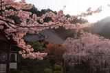 桜爛漫の毘沙門堂