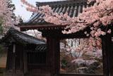 毘沙門堂の桜と薬医門
