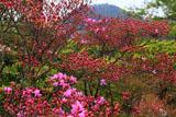 光悦寺のミツバツツジと鷹ヶ峯