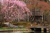 しょうざん 紅枝垂桜と酒樽茶室