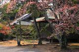 広隆寺のヤマザクラ