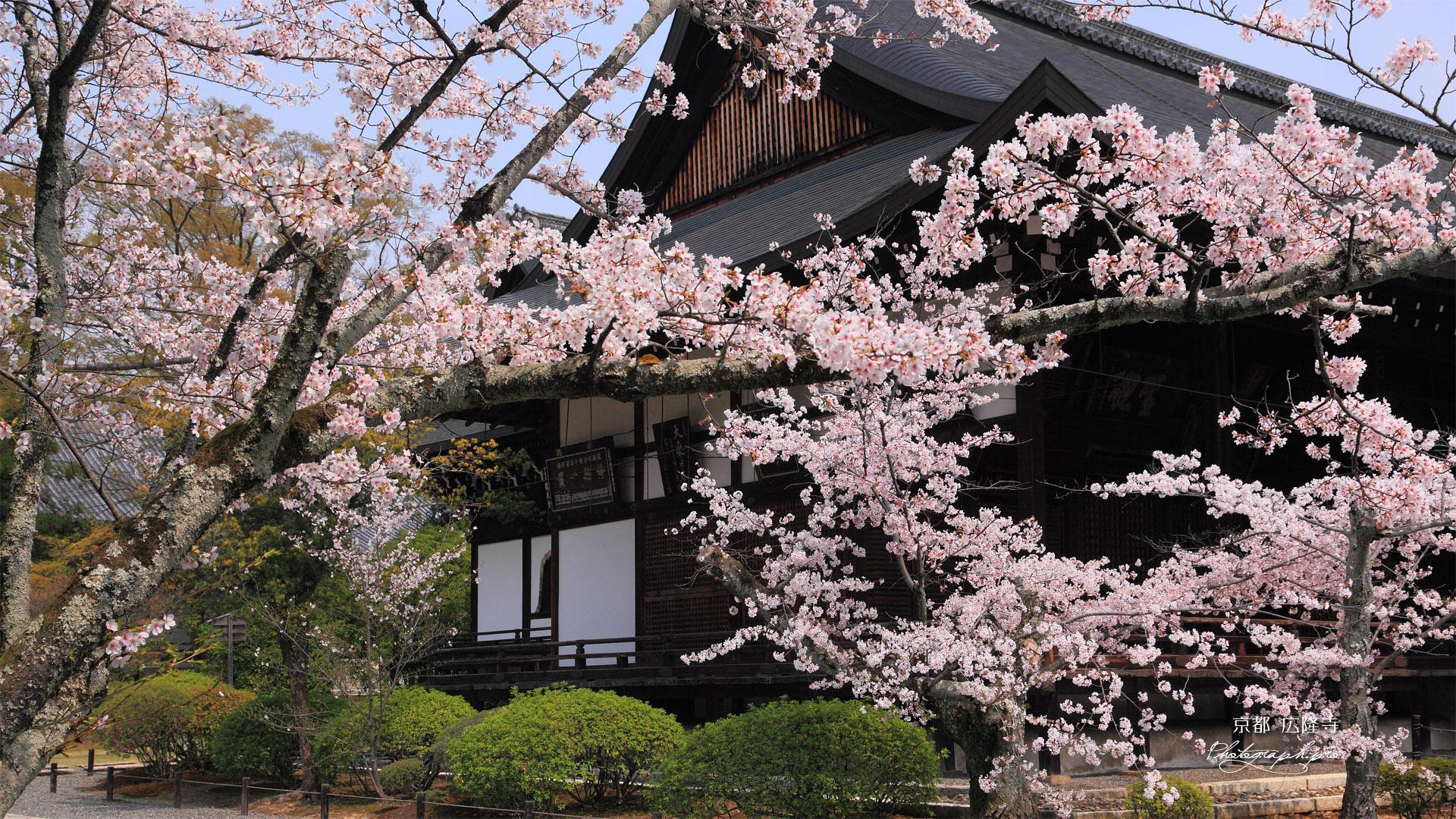 広隆寺の桜と本堂