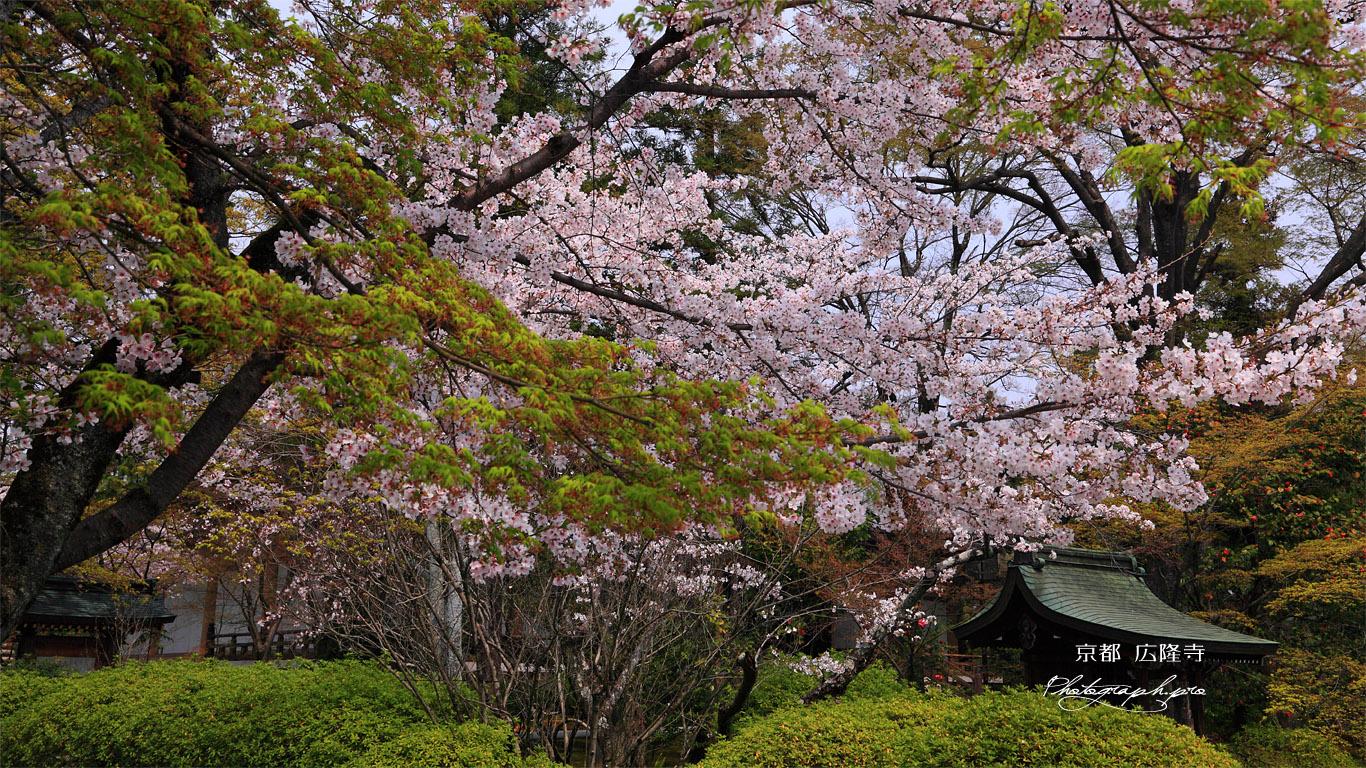 広隆寺の桜と社 壁紙