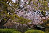 広隆寺の桜と社