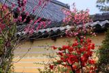 京都等持院 ボケと築地塀