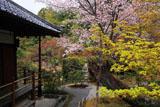 京都等持院 山桜と宝篋印塔