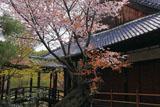 京都等持院のヤマザクラ
