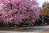 上品蓮台寺 紅枝垂れ桜