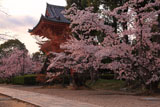 仁和寺の桜と鐘楼