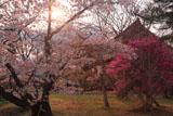 仁和寺 桜とミツバツツジ