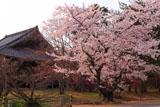 仁和寺の桜と観音堂