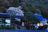 松尾大社 神饌所の山桜