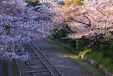 蹴上インクライン 桜と軌道