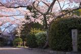 哲学の道 若王子入口の桜