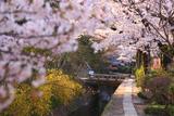 哲学の道 関雪桜
