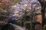 哲学の道 山桜と染井吉野