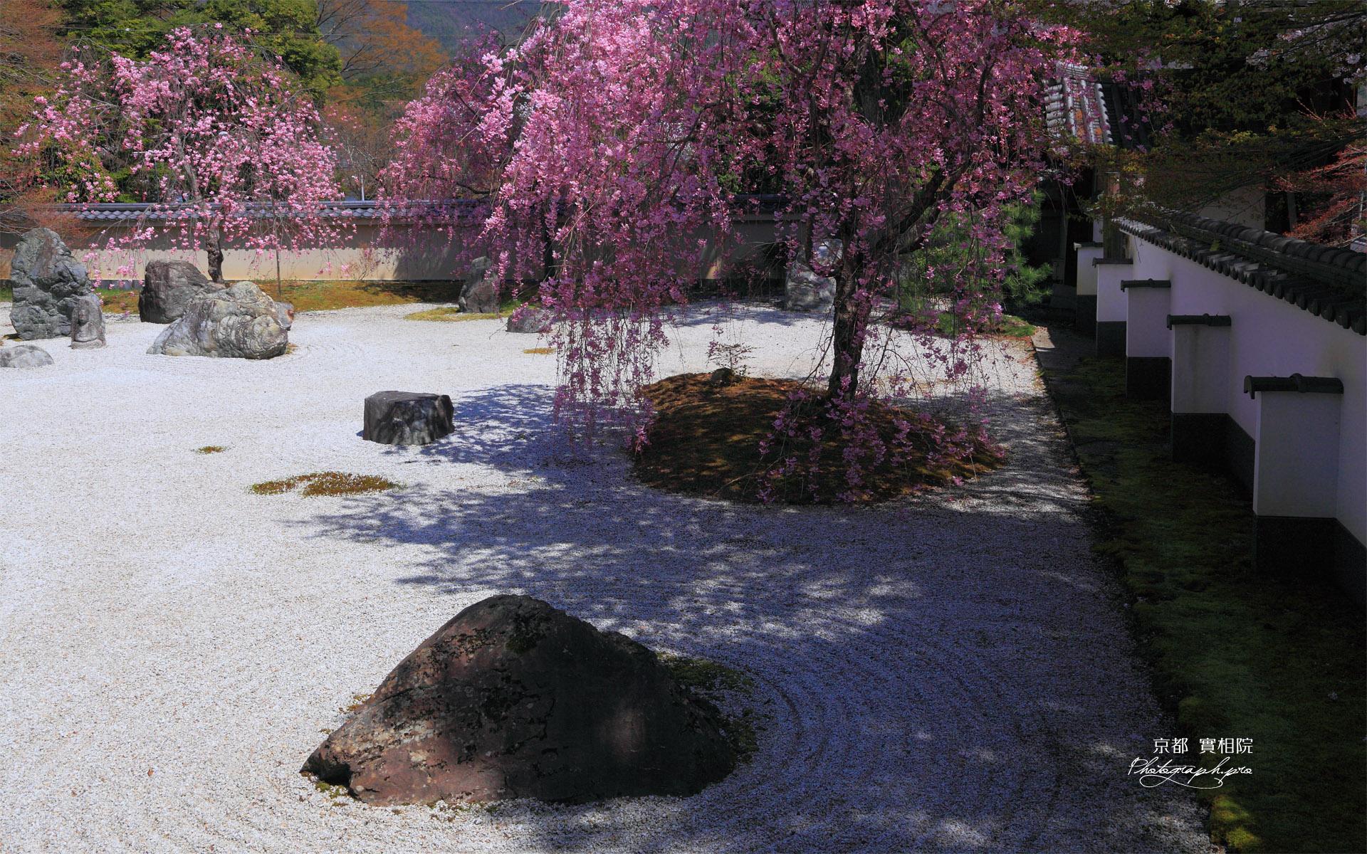 実相院 石庭のベニシダレザクラ