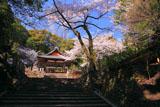 桜咲く京都石座神社