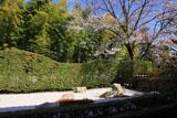 妙心寺大心院 書院東庭と桜