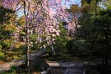 妙心寺大法院 枝垂桜と玉龍院