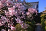 妙心寺大法院 枝垂桜と庫裡