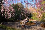 妙心寺退蔵院 紅枝垂桜と陰の庭