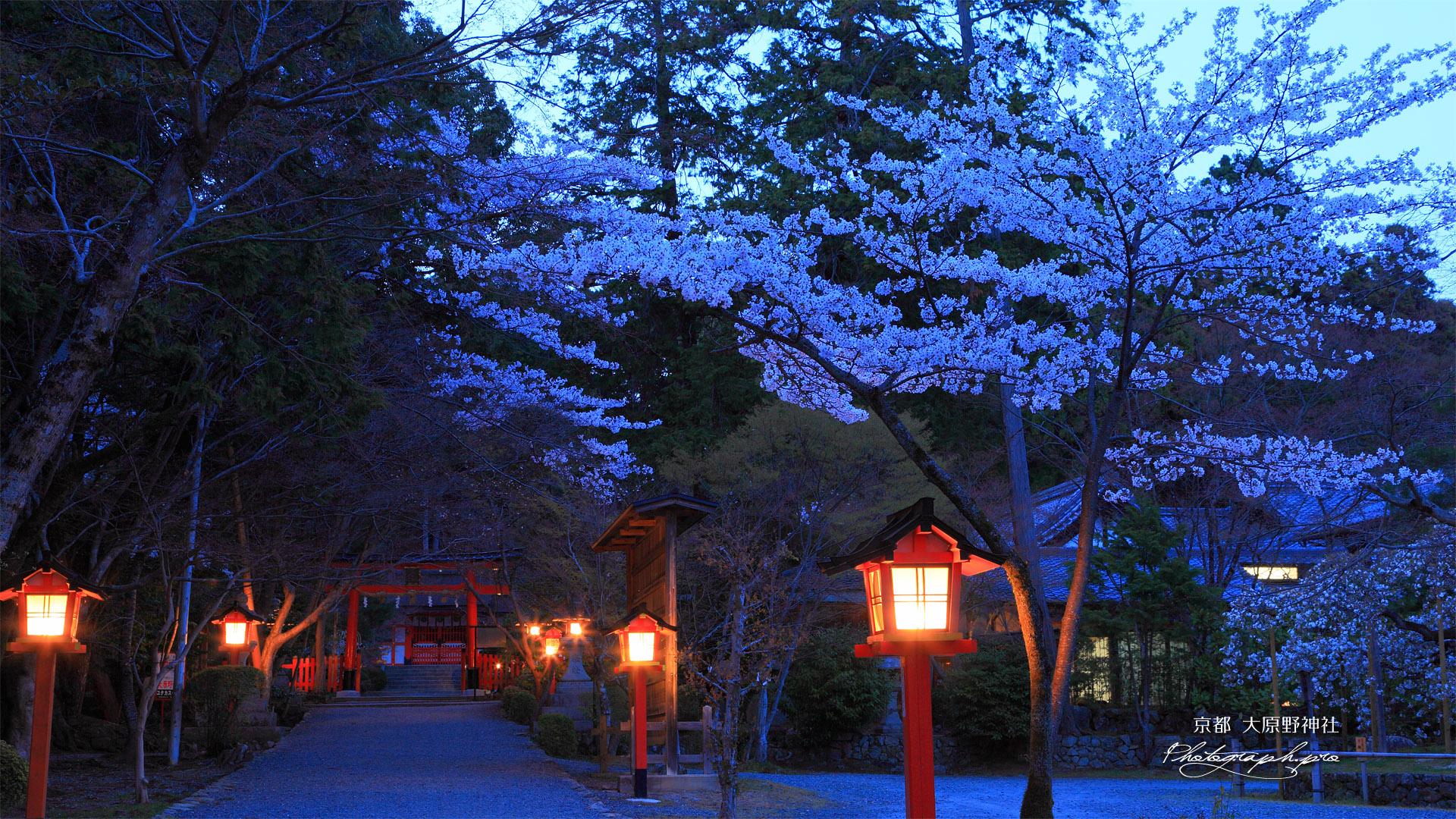 大原野神社の春日灯籠と桜