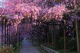 京都 半木の道