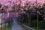 半木の道 紅枝垂れ桜のトンネル