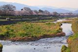 下鴨 賀茂川堤の桜並木