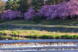 京都 半木の道の桜並木